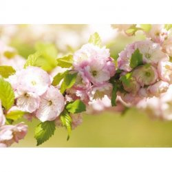Primavera de Flores Lilas