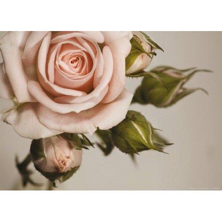 Detalle de Rosa Rosa Florecida