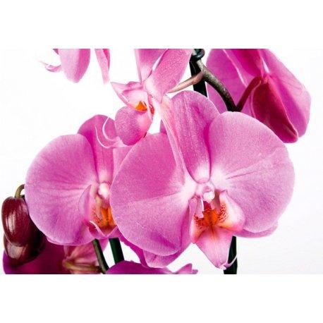 Orquídea Rosa Suave y Delicada