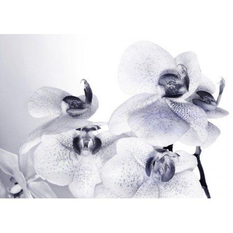 Orquídeas Blancas Puntos Azules