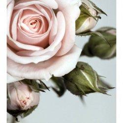Delicado Detalle de Rosa Rosae