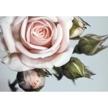 Detalle de la Delicadeza de la Rosa