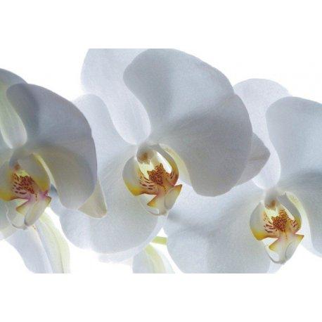 Delicadas Orquídeas en Blanco